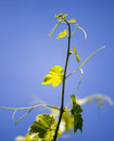 Mustache against grapes against the blue sky