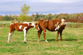 Mustang horse young white and brown and mother Royalty Free Stock Photos