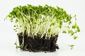 Mustard and cress roots and stems Royalty Free Stock Photo