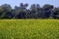 Mustard fields in kajuraho india mp central Stock Photos