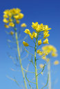 Mustard Flower Royalty Free Stock Photos