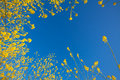 Mustard flower blooms rising into the blue sky Royalty Free Stock Image