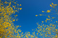 Mustard flower blooms rising into the blue sky Royalty Free Stock Photography