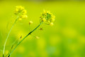 Mustard flower in napa california Stock Photography