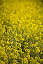 Mustard Flowers, Napa Valley Stock Images