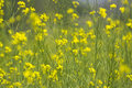 Yellow Mustard Flowers Royalty Free Stock Photo