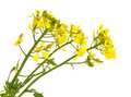 Mustard flowers on a white background Royalty Free Stock Photo
