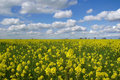 Mustard Flowers, White Clouds Stock Image