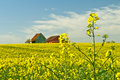 Mustard with old farmhouse Royalty Free Stock Photo