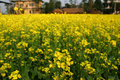 Mustard plant Flowering Royalty Free Stock Photo