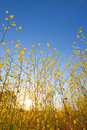 Mustard plant flowers against blue sky at sunrise Stock Image