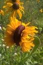 Mutant Sunflowers Royalty Free Stock Photo