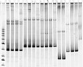 Mutation screening in polyacrylamide gel Stock Photography