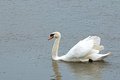 Mute swan adult gliding on river with wings slightly spread Royalty Free Stock Photo