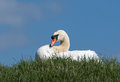 Mute swan adult male on riverbank Stock Photography