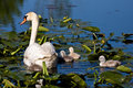 Mute Swan and Baby Cygnets In Pond Royalty Free Stock Image