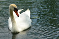 Mute swan beautiful photo of a relaxing on a pond Royalty Free Stock Images