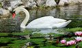 Mute swan beautiful relaxing in a water garden with blooming pink water lilies Stock Photography