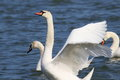 Mute swan on blue river Royalty Free Stock Photo