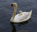 The mute swan is carrying her chick on the back very interesting and original situation when riding of mother Stock Photography