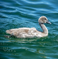 Mute Swan chick Royalty Free Stock Photo