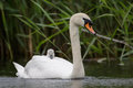 Mute Swan with cygnet Royalty Free Stock Photo