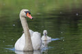 Mute swan with cygnet a focus on the mother Royalty Free Stock Images