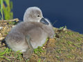 Mute swan cygnet resting by the water Royalty Free Stock Image