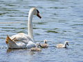 Mute Swan and Cygnets Royalty Free Stock Photo