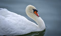 Mute swan Cygnus olor. Royalty Free Stock Photo