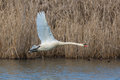 Mute swan Cygnus olor during flight with natural background Royalty Free Stock Photo