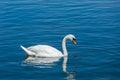 Mute swan cygnus olor in lake munich germany Royalty Free Stock Image