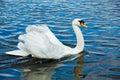 Mute swan cygnus olor in lake munich germany Royalty Free Stock Photo