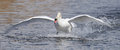 Mute swan cygnus olor landing in water in its habitat Royalty Free Stock Images