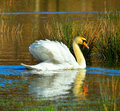 Mute swan a enjoying the sunshine on a flooded english meadow Royalty Free Stock Image