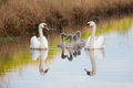 Mute swan family enjoying summer evening Royalty Free Stock Images