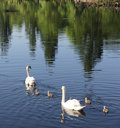 Mute Swan family on its first outing Royalty Free Stock Photo