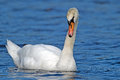 Mute swan floating on serene lake Royalty Free Stock Images