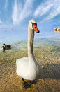 Mute Swan - Garda Lake - Italy Royalty Free Stock Photo