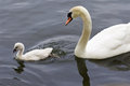 The mute swan and her cute chick are swimming in the lake water of Stock Images