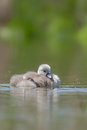 Mute swan juvenile cygnus olor Royalty Free Stock Photos