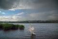 Mute Swan on Lake in the Rain