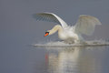 Mute swan landing in the crystal blue water Royalty Free Stock Images