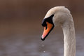 Mute swan portrait Royalty Free Stock Image