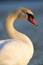 Mute swan portrait of a Stock Images