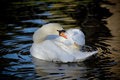 Mute swan preening cygnus olor it s feathers on a pond in bath somerset england uk Stock Photo