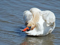 Mute swan preening head upturned Stock Image