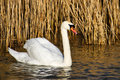 Mute swan by reed beds white swimming beside the at radipole lake in dorset Royalty Free Stock Image