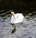 Mute Swan reflections Royalty Free Stock Photo