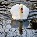 Mute swan with reflections of branches in a lake Stock Photography